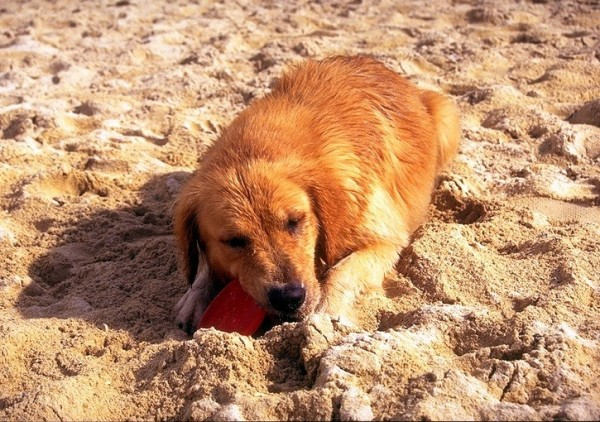 動物醫師表示如果狗沒有經過訓練,大型獵犬只需要5次接觸,陌生人就能變熟人。(資料照)