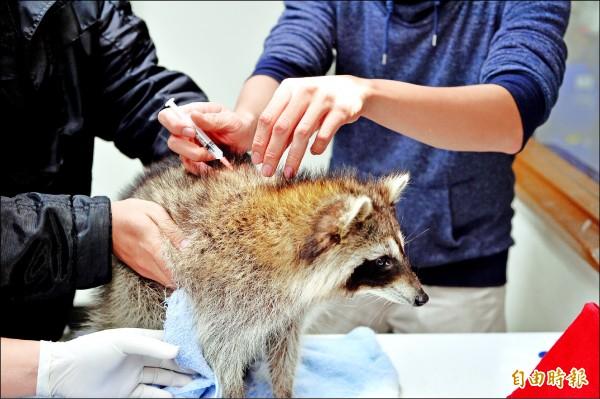 動保處人員替浣熊施打狂犬病疫苗。(記者陳韋宗攝)