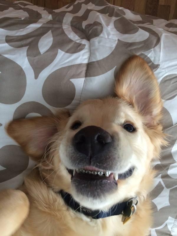 小狗威斯里戴牙套開心的笑容,萌翻不少網友。(圖擷自Harborfront Hospital for Animals)