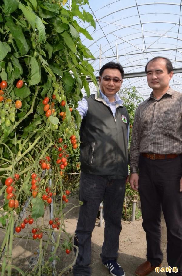 番茄農用木黴菌配合甲殼素成功抗寒。(記者顏宏駿攝)