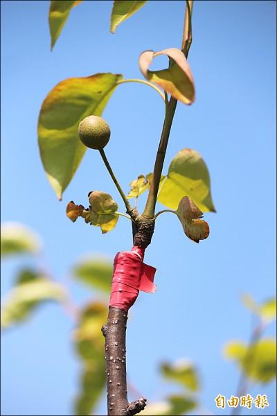 新埔鎮今年各家的梨穗還結得出果的,大多都只剩下1顆。(記者黃美珠攝)