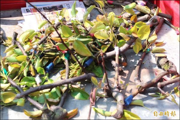 受重創的梨穗被梨農一根根鋸下來,成了綠肥。(記者黃美珠攝)