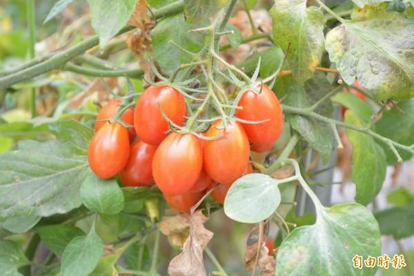 花壇鄉推廣農民種植的草莓、小番茄有成,鄉公所歡迎民眾前來享受採果樂趣。(記者湯世名攝)