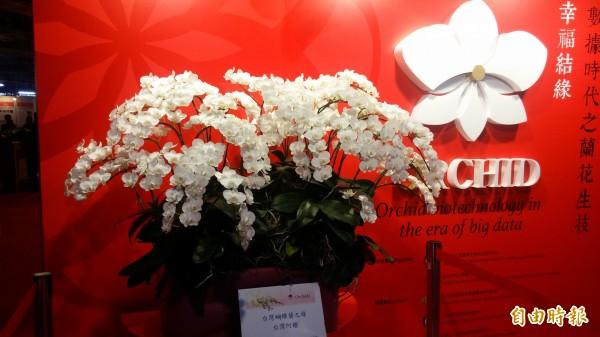 台灣蘭展的超級阿嬤蝴蝶蘭。(記者楊金城攝)