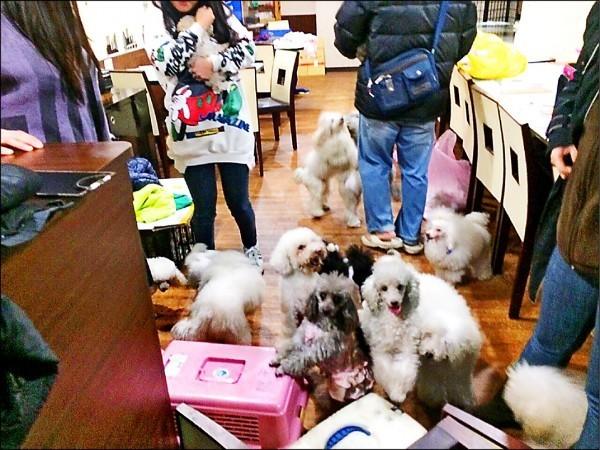 肥貓寵物用品店上月驚傳火警,善心人士前往救援,卻意外在地下室發現60多隻疑被割聲帶的名犬。(安康里小狗群組提供)
