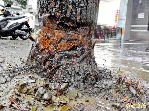 植樹節前夕,新竹縣竹北市有棵樟樹樹幹底部慘被環狀剝皮,引發網友公憤。(記者廖雪茹攝)