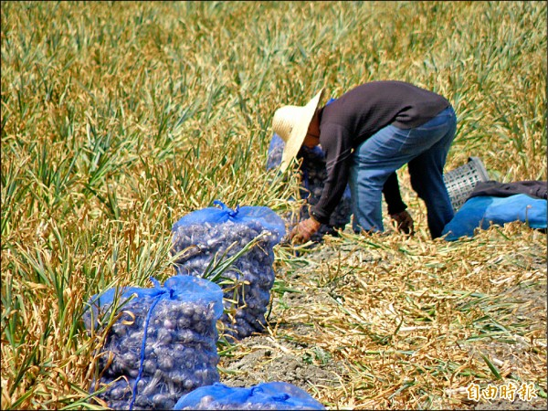 蒜頭採收期到來,因量少價揚,連帶種蒜價格看漲。(記者陳燦坤攝)