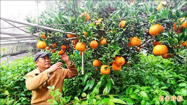 果農蔡陞樺棄高接梨改種桶柑,三月中開始收成上市。(記者李忠憲攝)