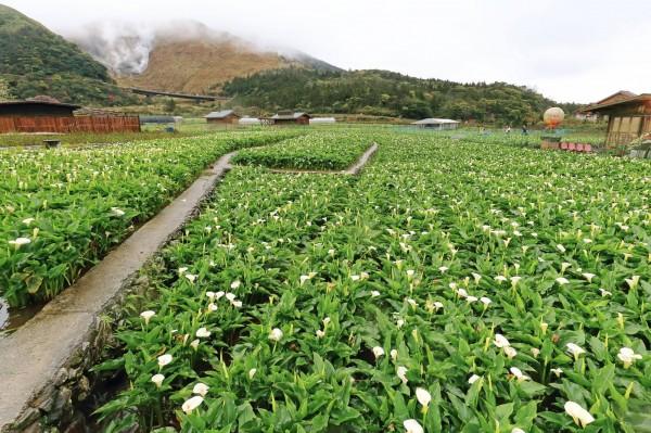 陽明山海芋季將在18日登場,12日時海芋已逐漸開花。(圖擷取自海芋季臉書)
