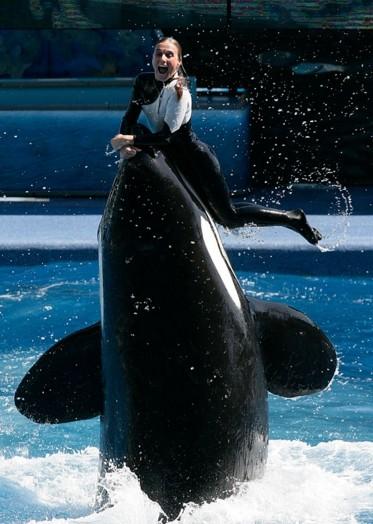 虎鯨提利康曾殺死女訓練師,引發圈養道德、以及利用海洋生物獲利等問題。(圖擷自Starcasm)