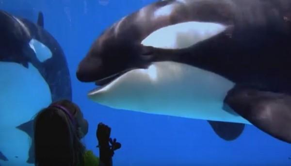 官網聲明,往後殺人鯨只供觀賞和教育用。(圖擷自海洋世界)