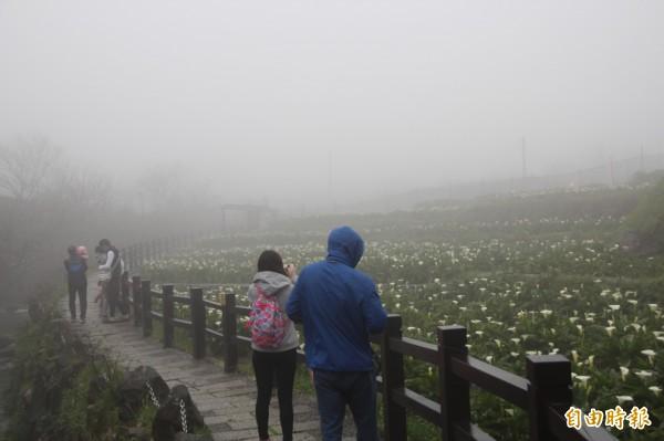 昨天是海芋季首日,不料天空不作美,現場賞花人潮稀少。(記者鍾泓良攝)