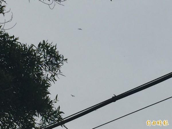 雨後天晴,八卦山上的天空,出現灰面鵟鷹過境的畫面。(記者張聰秋攝)