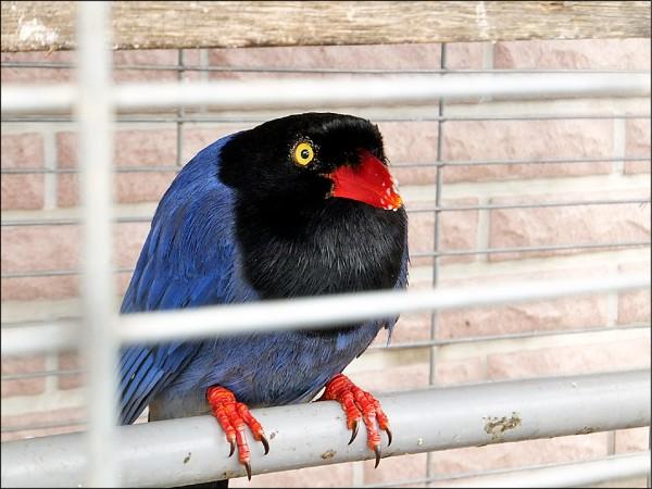 台灣藍鵲落難,男子撿回家養觸法被送辦。(記者蔡政珉翻攝)