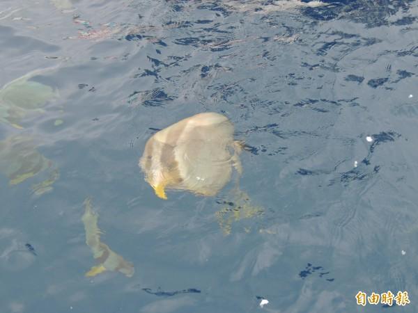 綠島燕魚群消失,最近一次觀察只剩三隻。(記者張存薇攝)