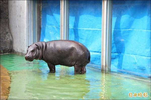 公侏儒河馬「秋吉」已運抵壽山動物園。(記者葛祐豪攝)