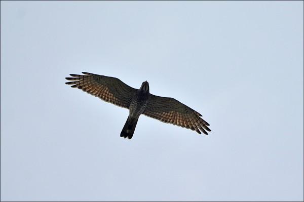 灰面鵟鷹翱翔高雄天際,過境北返。(圖:李振文提供)