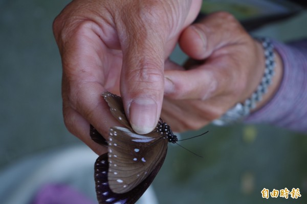 紫斑蝶翅膀上斑點可判讀種類。(記者林國賢攝)