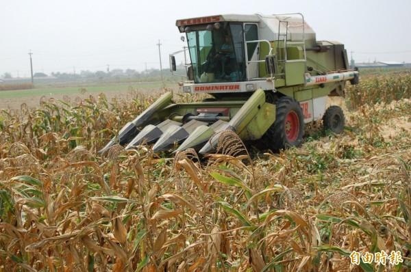 台南市硬質玉米開始採收,不出所料,產量因寒害而減少。(記者楊金城攝)