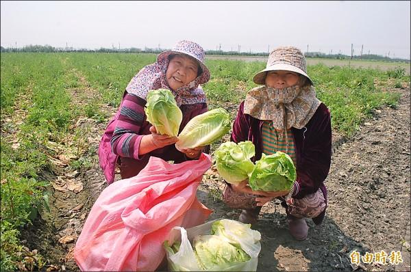 阿嬤開心展示免費摘得的蘿蔓菜。(記者鄭旭凱攝)