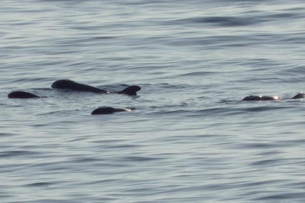 同伴一直戒護著生病小虎鯨(最左),直到獲救。(記者蔡宗憲翻攝)