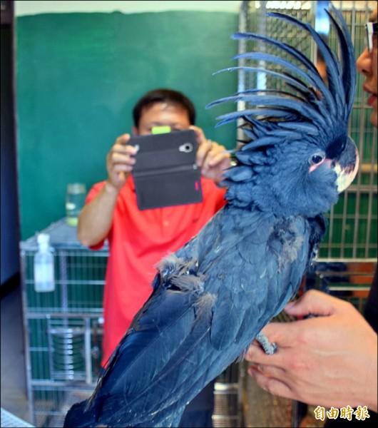 棕櫚美冠鸚鵡(記者葉永騫攝)