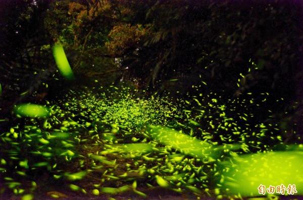 梅嶺風景區高海拔處的茶園附近,大量螢火蟲現蹤,夜空下景致迷人。(記者吳俊鋒攝)