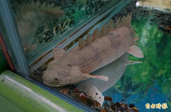恐龍魚是一種古老的魚類,在水族裡和龍魚、肺魚一樣屬於「活化石」的大型魚類。(記者楊金城攝)