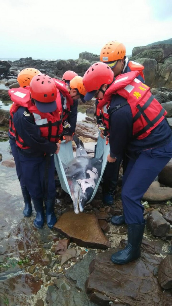 海豚遭漁網纏身死亡,疑似一屍兩命,將進一步釐清。(岸巡一三大隊提供)