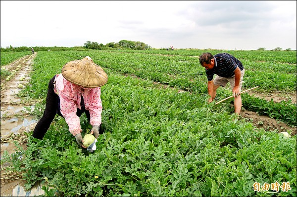 學甲西瓜大多在八掌溪畔栽種,因寒害而生長緩慢,目前大多只比壘球稍大。(記者楊金城攝)