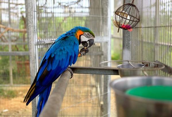 這隻金剛鸚鵡「芭比」被棄養2次,有憂鬱傾向,還會啄羽自殘。(記者吳俊鋒翻攝)