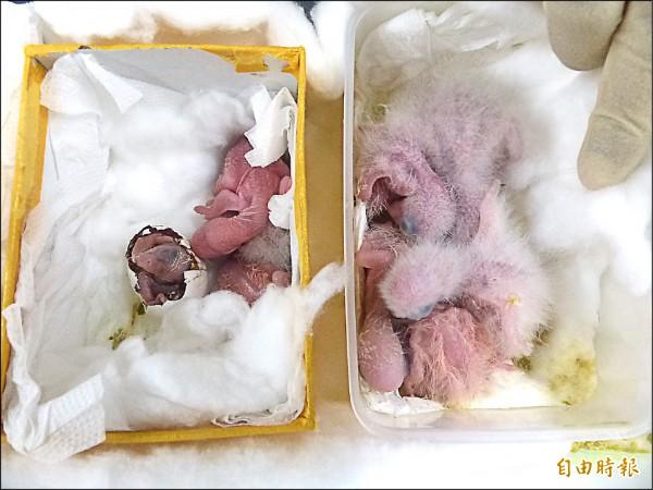 金門機動查緝隊查獲夾帶闖關的鸚鵡雛鳥及才孵化的幼鳥。(記者吳正庭攝)