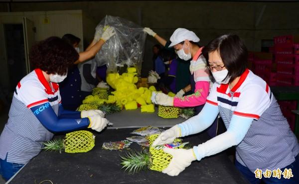 關廟區農會動員分裝金鑽鳳梨,供貨外銷。(記者吳俊鋒攝)