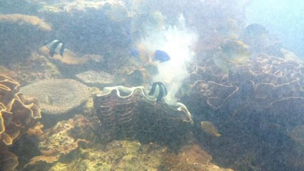 海生館硨磲貝正在排精、卵。(記者陳彥廷翻攝)
