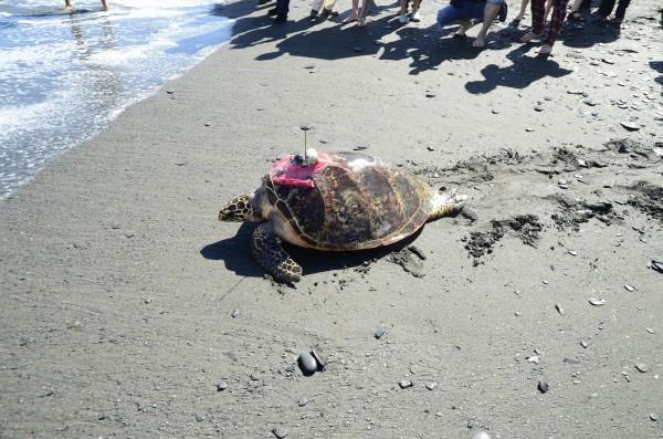 去年11月,恢復健康的玳瑁「阿飛」背上裝著衛星發報器游回大海,牠是國內第一隻成功救援且標放追蹤的玳瑁。(圖擷自林務局全球資訊網)