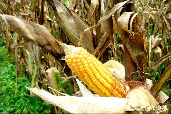 因為春雨異常豐沛,致成熟硬質玉米採收延宕。(記者蔡宗勳攝)