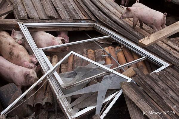 被強震壓垮的豬舍。(圖擷自《Masaya Noda》臉書)