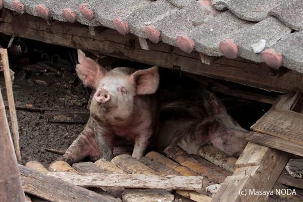 日本熊本發生接連強震,豬舍被震垮,幸運脫困的小豬,最後仍被送往屠宰場。(圖擷自《Masaya Noda》臉書)