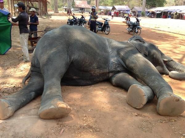 動物愛好者要求展開調查,為何一頭高齡40-45歲的母象被迫在高溫、無風的環境下載客。(圖擷自Yem Senok臉書)