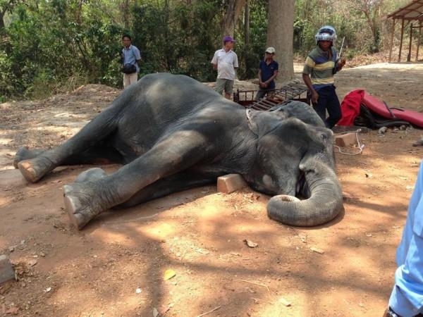 年約40至45歲的高齡母象珊寶被迫在高溫、無風的環境下載客,引發熱衰竭和心髒病發身亡。(圖擷自Yem Senok臉書)