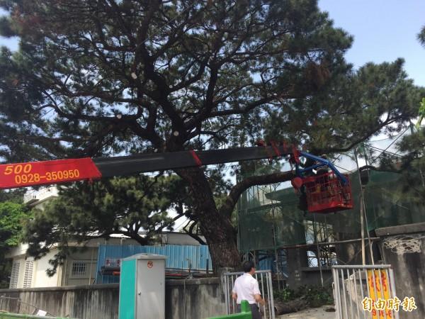 工人清除老樹附著青苔。(記者張存薇攝)