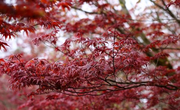 太平山紫葉槭葉子轉紅,景致優美。(圖由羅東林管處提供)景致