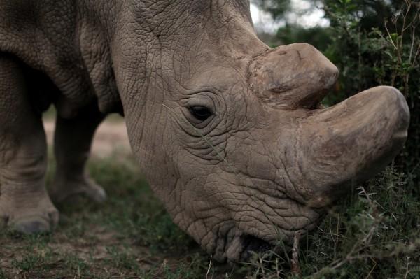 不只大象,犀牛也因為昂貴的犀牛角,而慘遭獵殺,瀕臨絕種。(路透)