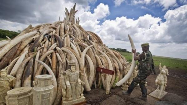 明天肯亞將燒毀105噸非法象牙。(美聯社)