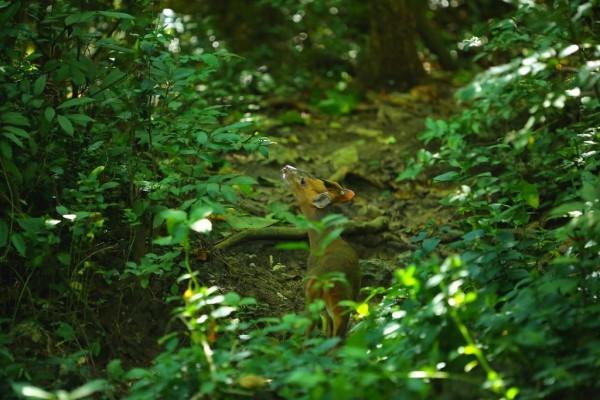 攝影好手捕捉到野生山羌漫步畫面。(壽山國家自然公園籌備處提供)