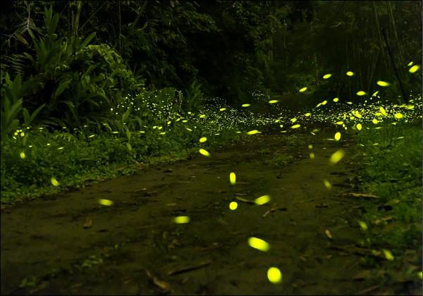 新竹縣溪南山區出現螢火蟲潮,吸引攝影愛好者蜂擁而至,輕鬆就可拍到螢光點點的好照片。(攝影愛好者羅浚濱提供)