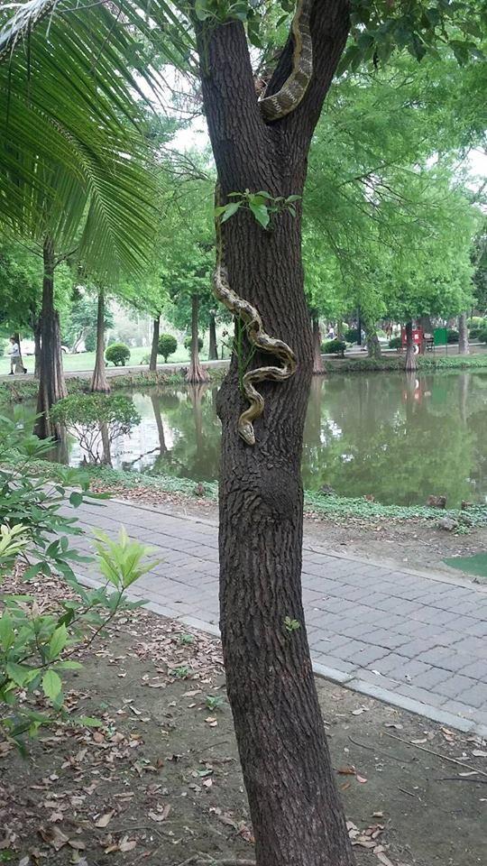 台南巴克禮公園出現錦蛇,有民眾通報消防局將其抓走,引發網友熱議。(圖擷自台南諸事會社臉書)