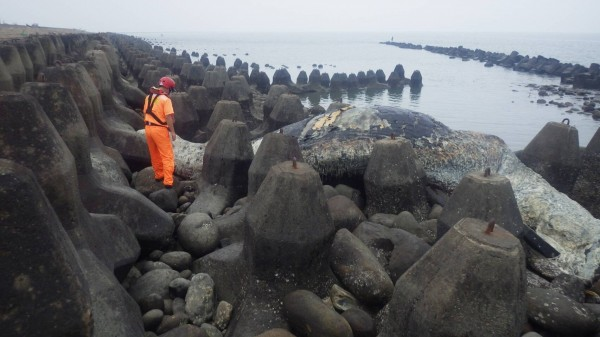 日前一條長約10公尺的抹香鯨在竹市岸邊擱淺死亡。(記者蔡彰盛翻攝)