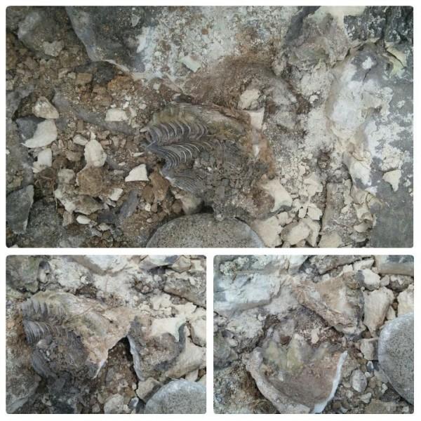 蘭嶼野銀部落附近的五爪貝化石,遭遊客強行挖走,而這也讓當地居民感到相當無奈,只能透過臉書呼籲,請不要破壞。(圖擷取自「蘭宇滴」臉書)