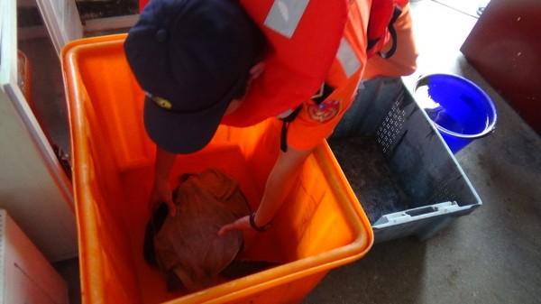 鳥嶼安檢所弟兄,將擱淺綠蠵龜放置在容器中。(岸巡七二大隊提供)